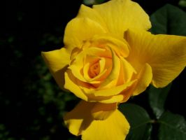 Yellow Rose Stock by tiger-kat