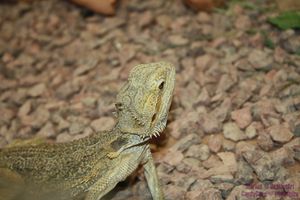 Central Bearded Dragon by Astromyxin