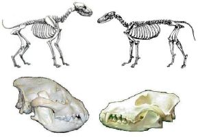 Hyena wolf skeleton comparison by Dark-Hyena