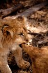 Lion Cub Tug-of-War by Dyer-Consequences