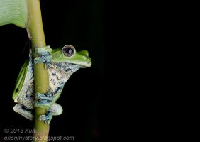Norhayati's Flying Frog - IMG 2583 copy by orionmystery