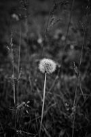 dandelion by distandi
