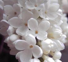 White Lilac close up by Ivy-Juniper