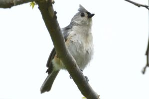 Tufted Titmouse by wreckingball34