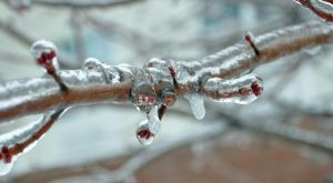 Ice Covered Branch by cjraines