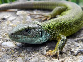 green anole lizard by Savualex