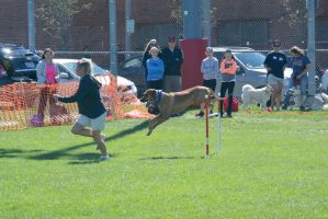 2014 Dog Festival, Agility Contest by Miss-Tbones