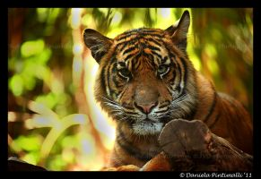 Tiger Stare by TVD-Photography