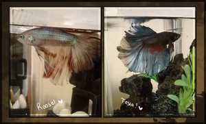 MY BETTA BBYS by DoctorCritical
