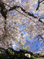 Cherry Arch by axcho