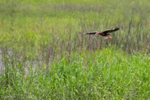 Black-bellied whistling duck flying by CyclicalCore