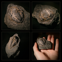 Trilobite Fossil by Pikishi