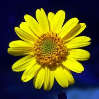 yellow flower by augenweide