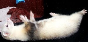 Ferret 1 Pip by Penny-Stock