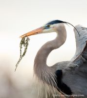 Great Blue, Nesting Material by FForns