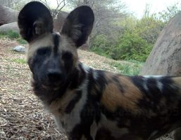 African Wild Dog by saxifrace