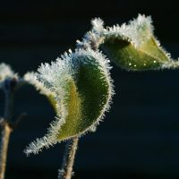 Frozen leaf by NorwegianAnette