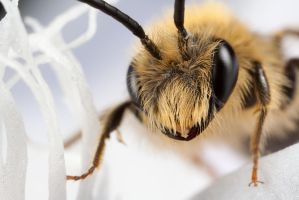 Miner Bee on White 2 by Alliec