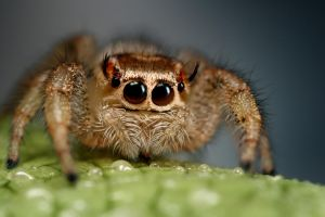 jumping spider 1 by macrojunkie