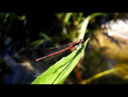 Red Dragonfly by MayaSildaen