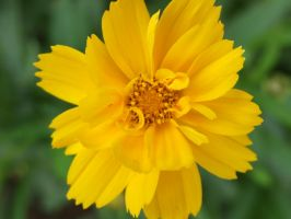 Yellow Flower by kndrwllmsn