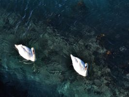Swans in Porthleven harbour by Dogbytes