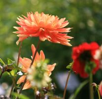 awesome dahlias 3 by ingeline-art