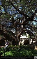 Ancient Huge Tree by DamselStock