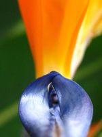 Bird of Paradise by fadetag