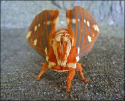 Citheronia regalis, male - 5 by J-Y-M