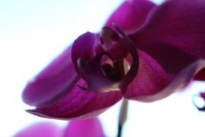 Orchid - My first DSLR shoot by xLaRiex