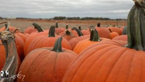Sea Of Pumpkins by ytvrci