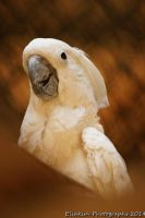 COCKATOO by kimpy23