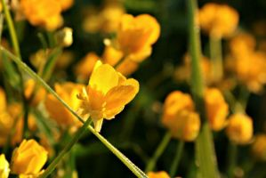yellow flowers by RayScream
