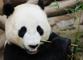 Lunch for Panda by I-Heart-Photos