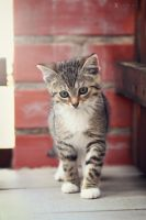Lilly the Kitten by PixelwolfPhotography
