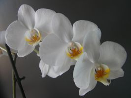 white Orchids by paolaquasar