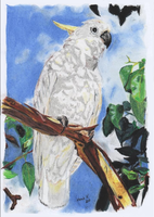 Sulphur-crested Cockatoo by Catherine-PL