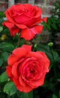 Autumn Roses by Forestina-Fotos