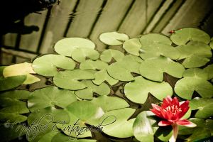 Lilly pads and flower by natzcv