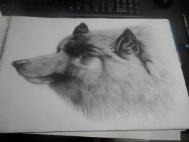 Wolf sketch by shuaguilar