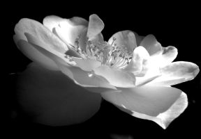Little Rose in Black and White by TinyWild