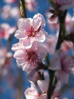 Reprise of the Cherry Blossoms by Queen-of-Carthage