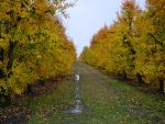Photo: Pear Orchard in Fall by AskGriff