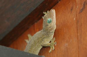 Barking Gecko by kontiki1