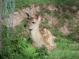 deer calf by RatteMacchiato