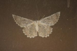 moth back by Irie-Stock