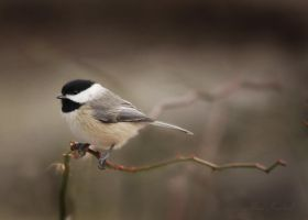 Black-capped Chickadee by AlinaKurbiel