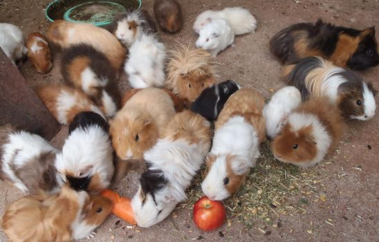 So many piggies! by Vanessanon