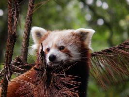 Little red panda 4 by JanuaryGuest